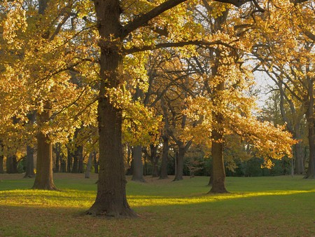 Autumn, Hagley Park oaks, Christchurch.